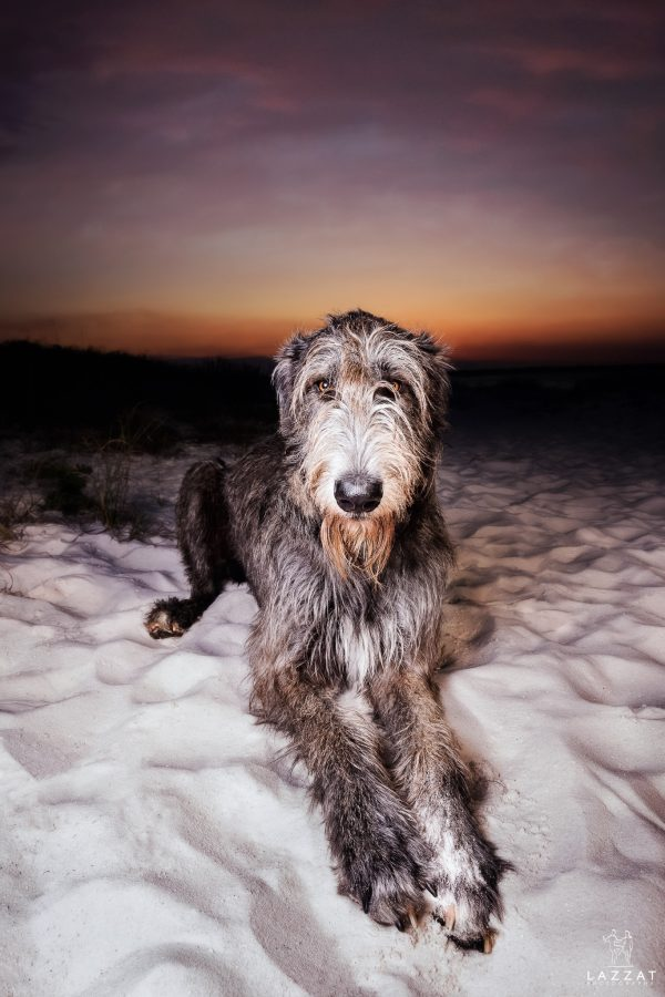 Irish Wolfhound on the Fort Pickens beach at sunset during Epic Dog Photo Session in Florida, Lazzat Photography