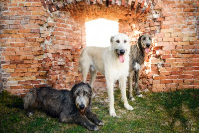 All three Irish Wolfhound at Fort Pickens during Epic Dog Photo Session in Florida, Lazzat Photography