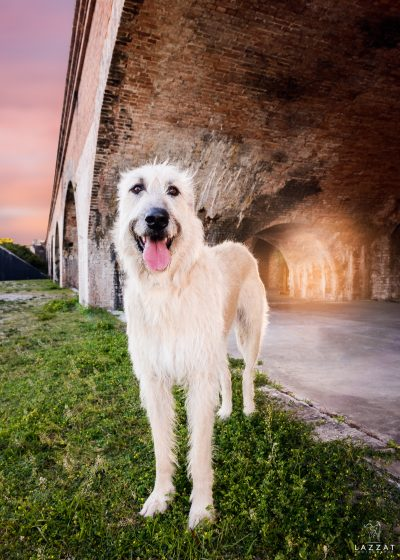 White Irish Wolfhound at Fort Pickens at sunset during Epic Dog Photo Session in Florida, Lazzat Photography