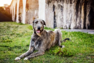 Gray Irish Wolfhound laying down at Fort Pickens at sunset during Epic Dog Photo Session in Florida, Lazzat Photography