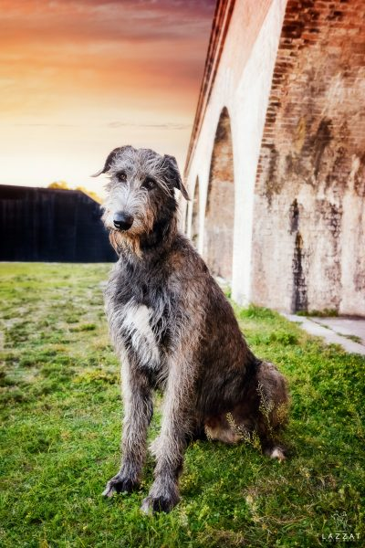 Gray Irish Wolfhound at Fort Pickens at sunset during Epic Dog Photo Session in Florida, Lazzat Photography