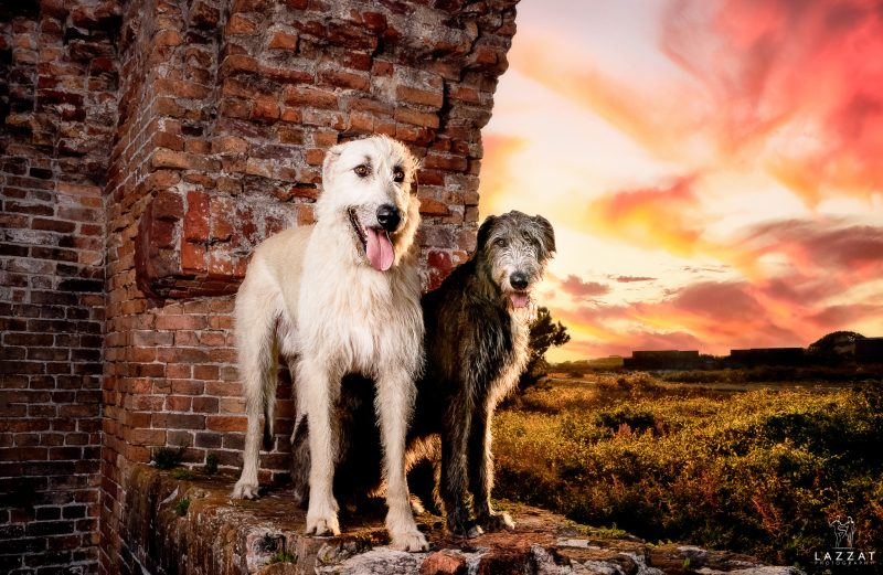 Two Irish Wolfhounds at Fort Pickens at sunset during Epic Dog Photo Session in Florida, Lazzat Photography