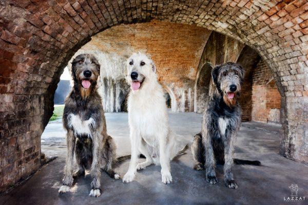 All three Irish Wolfhounds under the arch at Fort Pickens during Epic Dog Photo Session in Florida, Lazzat Photography