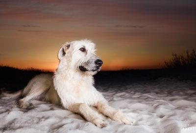 White Irish Wolfhound on the Fort Pickens beach at sunset during Epic Dog Photo Session in Florida, Lazzat Photography